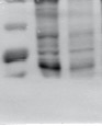 ABclonal: review for Bcl-2 Rabbit pAb(A0208)