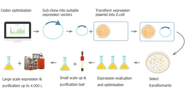 E. coli Expression Service   Protein Services - ABclonal