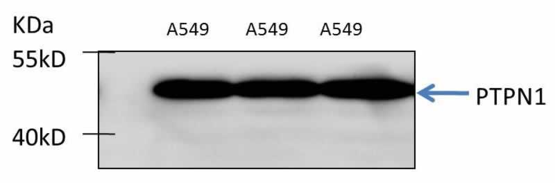 ABclonal:Western blot (WB) review for [KO Validated] PTPN1 Polyclonal Antibody(A1590)