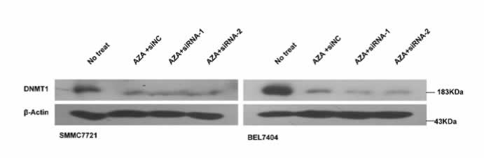 ABclonal: review for [KO Validated] DNMT1 Polyclonal Antibody(A5495)