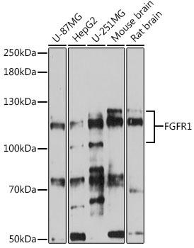 ABclonal:Western blot - FGFR1 Rabbit pAb (A0082) }