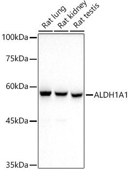ABclonal:Immunofluorescence - ALDH1A1 Rabbit mAb (A0157) }