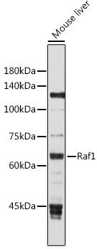 ABclonal:Western blot - Raf1 Rabbit pAb (A0223) }
