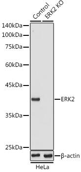 ABclonal:Western blot - [KO Validated] ERK2 Rabbit pAb (A0229) }