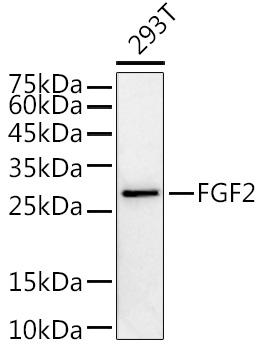 ABclonal:Western blot - FGF2 Rabbit pAb (A0235) }