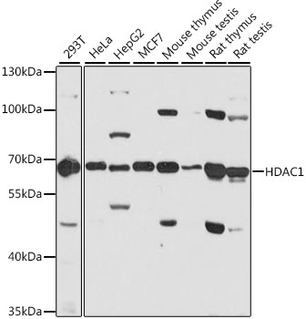 ABclonal:Western blot - [KO Validated] HDAC1 Polyclonal Antibody (A0238)