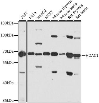 ABclonal:Western blot - [KO Validated] HDAC1 Rabbit pAb (A0238)