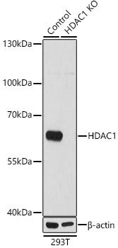 [KO Validated] HDAC1 Rabbit pAb