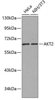 ABclonal:Western blot - AKT2 Rabbit pAb (A0336) }