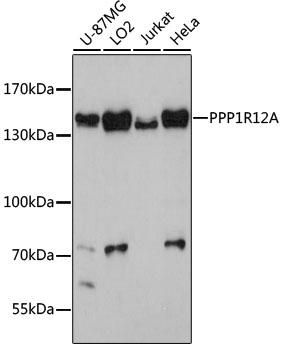 ABclonal:Western blot - PPP1R12A Polyclonal Antibody (A0587)
