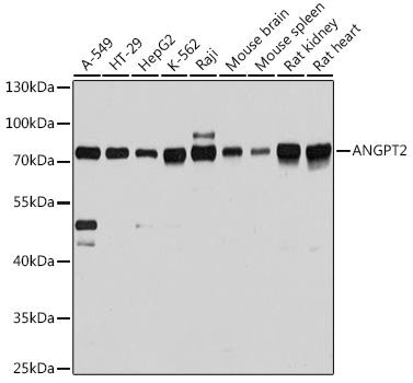 ABclonal:Western blot - ANGPT2 Rabbit pAb (A0698) }