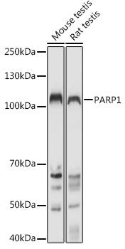 [KO Validated] PARP1 Rabbit pAb