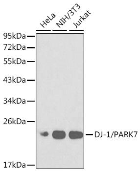 ABclonal:Western blot - [KO Validated] PARK7 Rabbit pAb (A0987) }