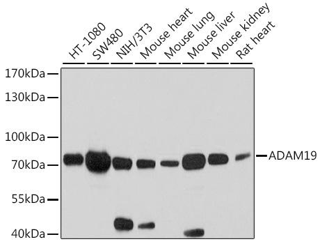 ABclonal:Western blot - ADAM19 Rabbit pAb (A10260) }