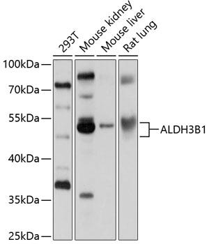 ABclonal:Western blot - ALDH3B1 Rabbit pAb (A10415) }