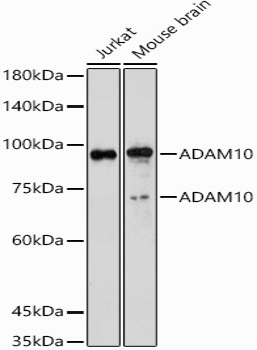 ABclonal:Western blot - ADAM10 Polyclonal Antibody (A10438) }