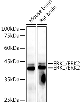 ERK1 / ERK2 Mouse mAb