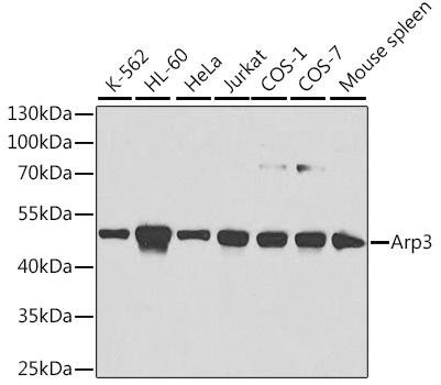 ABclonal:Western blot - ACTR3 Polyclonal Antibody (A1064) }