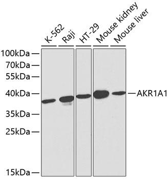 ABclonal:Western blot - AKR1A1 Polyclonal Antibody (A1068) }
