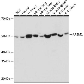 ABclonal:Western blot - AP2M1 Rabbit mAb (A11070) }