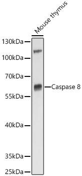 Caspase-8 Rabbit pAb