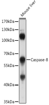 Caspase-8 Polyclonal Antibody
