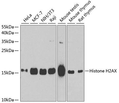Histone H2AX Polyclonal Antibody