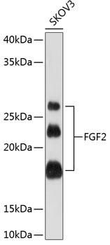 ABclonal:Western blot - [KO Validated] FGF2 Rabbit mAb (A11488) }