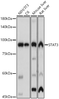 ABclonal:Western blot - [KO Validated] STAT3 Polyclonal Antibody (A1192)