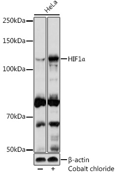 ABclonal:Western blot - HIF1α Rabbit pAb (A11945)