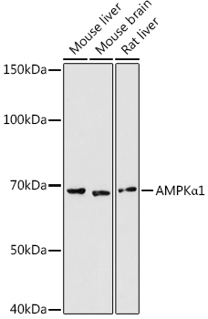 AMPKα1 Rabbit pAb