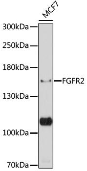 ABclonal:Western blot - FGFR2 Polyclonal Antibody (A12436) }