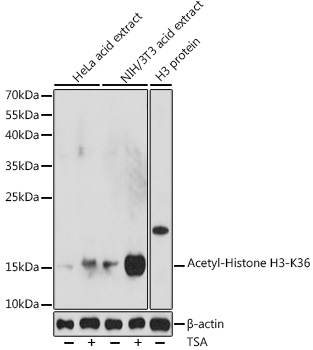 ABclonal:Western blot - Acetyl-Histone H3-K36 Rabbit pAb (A16077)