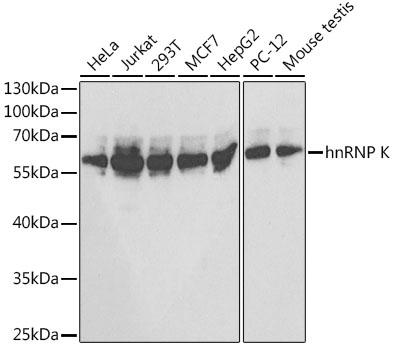 HNRNPK Polyclonal Antibody