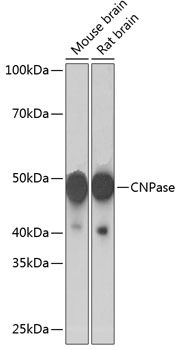 ABclonal:Western blot - CNPase Rabbit mAb (A19033) }