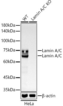 [KO Validated] Lamin A/C Rabbit mAb