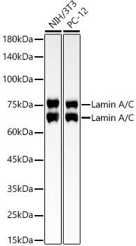 [KO Validated] Lamin A/C Rabbit mAb