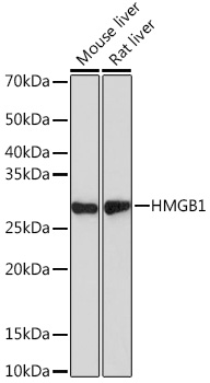 [KO Validated] HMGB1 Rabbit mAb