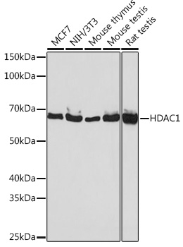 [KO Validated] HDAC1 Rabbit mAb