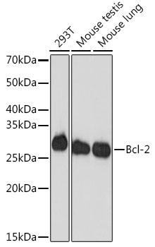 ABclonal:Western blot - Bcl-2 Rabbit mAb (A19693) }