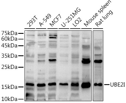 UBE2I Polyclonal Antibody