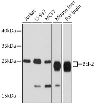 ABclonal:Western blot - Bcl-2 Rabbit pAb (A2212)