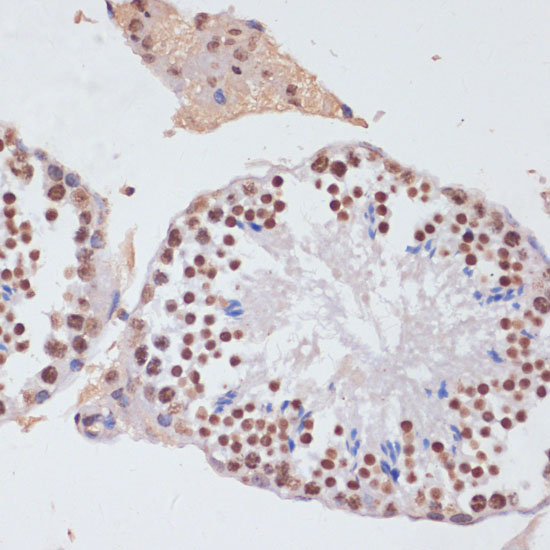 Histone H3 Rabbit pAb