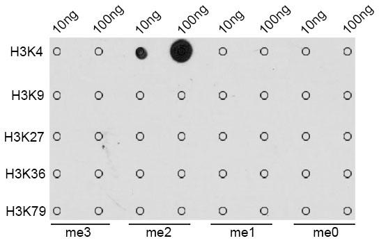 ABclonal: - DiMethyl-Histone H3-K4 Rabbit pAb (A2356)