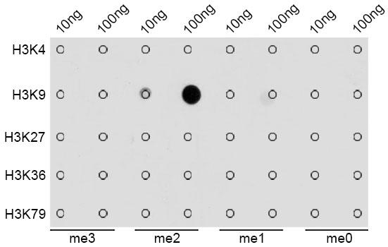 ABclonal: - DiMethyl-Histone H3-K9 Rabbit pAb (A2359)