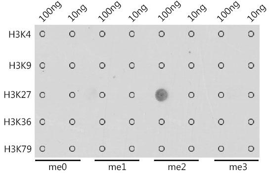 DiMethyl-Histone H3-K27 pAb