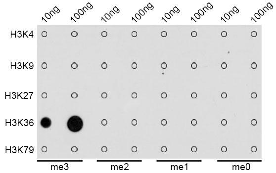 TriMethyl-Histone H3-K36 pAb