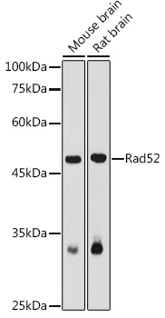 RAD52 Polyclonal Antibody