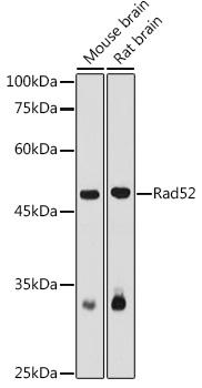 Rad52 Rabbit pAb