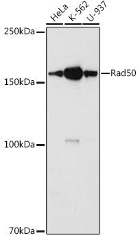 RAD50 Polyclonal Antibody